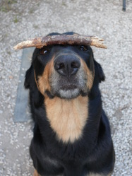 Free, chien Beauceron