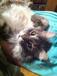 Freecat, chat Maine Coon