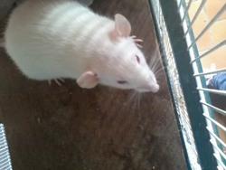 Freedent , rongeur Rat