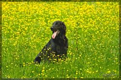 Freedom Of T'Wins Pride, chien Flat-Coated Retriever