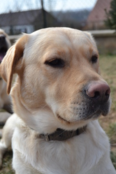 Freesbee, chien Labrador Retriever