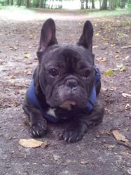 Freezbee, chien Bouledogue français