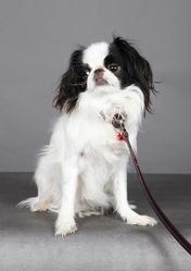 Fréhel, chien Épagneul japonais