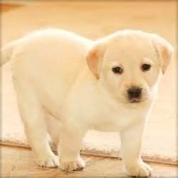 Freilla, chien Labrador Retriever
