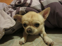 French Lubomir, chien Chihuahua