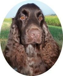 Frenchy, chien Cocker anglais