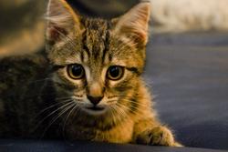 Fresnel, chat Européen