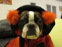 Freud, chien Terrier de Boston