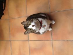 Freya, chat Européen