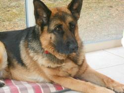 Freya, chien Berger allemand