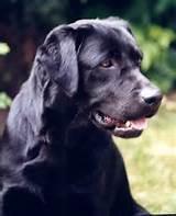 Fréya, chien Labrador Retriever