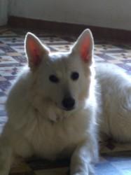 Freya, chien Berger blanc suisse