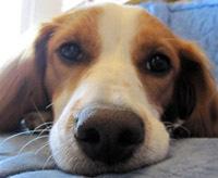 Freya, chien Épagneul breton