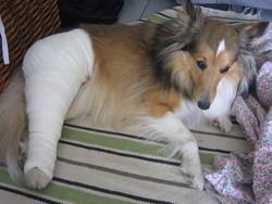 Freya, chien Berger des Shetland
