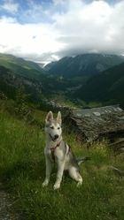 Freyja, chien Malamute de l'Alaska