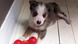 Freyja, chien Border Collie