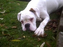 Freyja, chien Boxer