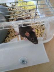 Freyja, rongeur Rat