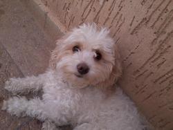 Freza, chien Caniche