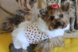 Frezzia, chien Yorkshire Terrier
