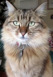 Frida, chat Européen