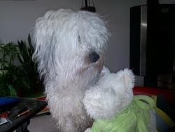 Fridu, chien Coton de Tuléar