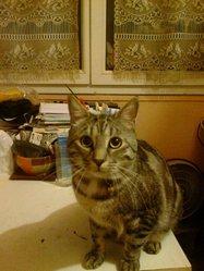 Frimouss, chat Européen