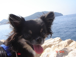 Frimousse, chien Chihuahua