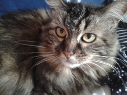 Frimousse, chat Maine Coon