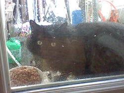 Frimousse, chat Angora turc