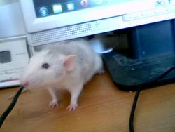 Frimousse, rongeur Rat