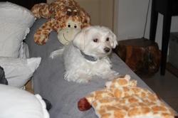 Frimousse, chien Bichon maltais