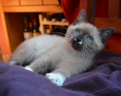 Frimousse, chat Siamois