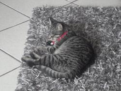 Frimousse , chat Européen