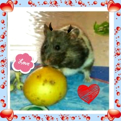 Frimousse, rongeur Hamster