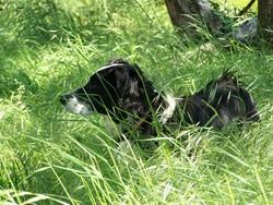 Frimousse, chien Border Collie
