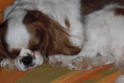 Frimousse, chien Cavalier King Charles Spaniel