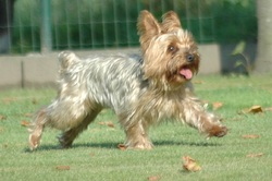Frimousse Dit Fripotte, chien Yorkshire Terrier