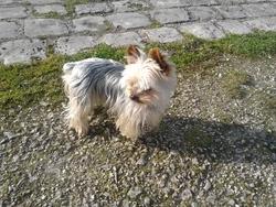 Fripon, chien Yorkshire Terrier