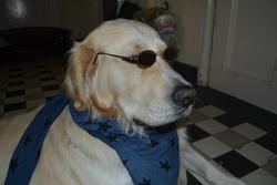Fripon, chien Golden Retriever