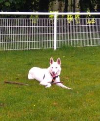 Fripon, chien Berger blanc suisse