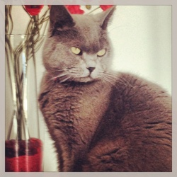 Fripon, chat Chartreux