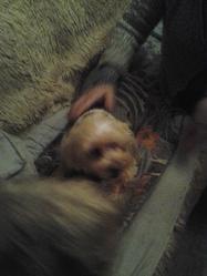 Fripon, chien Bichon à poil frisé