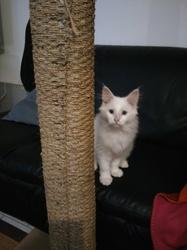 Fripon, chat Norvégien