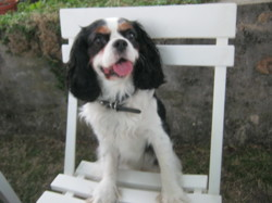 Fripon, chien Cavalier King Charles Spaniel