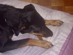 Fripouille, chien Beauceron