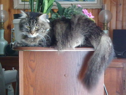 Fripouille, chat Norvégien