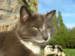 Fripouille, chat Chartreux