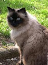 Fripouille, chat Thaï