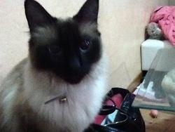 Fripouille, chat Birman